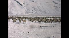 Vintage 16mm film, elk graze winter, 2-shot, Utah, 1965 Stock Footage