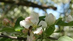 Bee flying into apple-tree flower and picking nectar slow motion Stock Footage