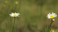 Two daisies swaying in the wind, close-up Stock Footage