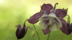 Aquilegia Flower Stock Footage