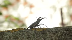 Lucanus Or Stag Beetle Crawling On A Branch Stock Footage