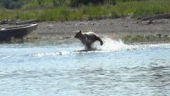 Brown Bear Charges Into Lake After Fleeing Salmon Stock Footage