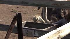 Emu Eating Food Stock Footage