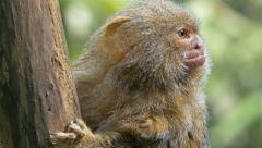 Roosmalens' dwarf marmoset (Callibella humilis). Stock Footage