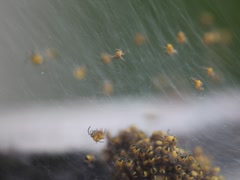 Colonies of spiders Stock Footage