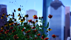 Red Sunflowers in the city Stock Footage