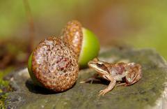 Stock Photo of Edible Frog on acorn