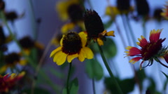 Wind blows sunflowers Stock Footage