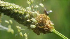 Top of the Head with the Seed of Meadow Grass with Insect are Resting Stock Footage