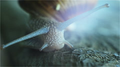 Snail with Tentacles Closeup Stock Footage