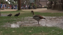 Duck walking in muddy water at the zoo Stock Footage