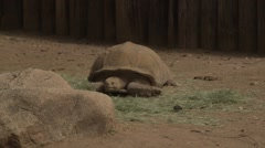 Giant desert tortoise laying down Stock Footage