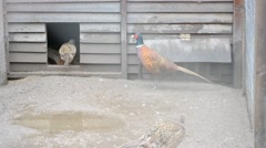 One male and two female common pheasants in aviary Stock Footage