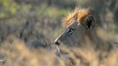 Lion king Stock Footage