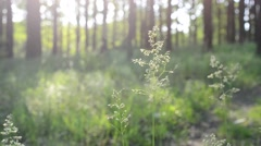 Common meadow-grass panicles blown by wind in forest Stock Footage