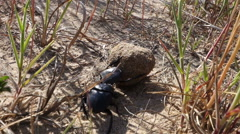 Dung beetle 50 fps Stock Footage