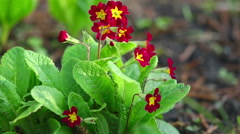 Red Primrose flowers swaying in the spring breeze Stock Footage