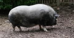Potbelly pig standing around Stock Footage