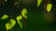 Birch catkin bloom and leaves backlit in sunset light, close-up - stock footage