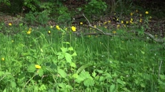 4k Giant buttercup flowers in woodrush beech forest Stock Footage