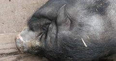 Pot belly pig head close up Stock Footage