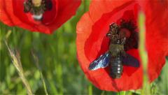 Red Flower Poppy Closeup on a Sunny Day with a Beetle that Collects Pollen Stock Footage