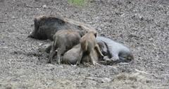 Wild boar piglets feeding on female pigs tit Stock Footage