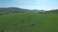 AERIAL: Flying over the cows on a big green field Stock Footage