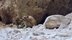 A Rock Hyax in the nationalpark of En Gedi eating Stock Footage