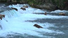 Panning wide to show seven brown bears near falls & jumping salmon - stock footage