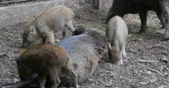 Wild boar piglet feeding on female pigs tit Stock Footage