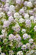 Alyssum white and lilac Stock Photos