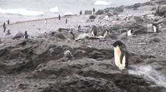 Adelie Penguins on a rocky beach at Hope Bay Antarctica Stock Footage