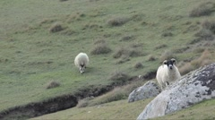 Sheep with hornes at  Lewis - Outer Hebrides (UK) Stock Footage