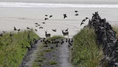 Starlings in flight (Sturnus vulgaris) and Red Deer  - Isle of Lewis (UK) Stock Footage