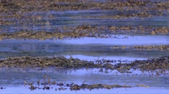 High tide and kelp on the  Scotland beach (UK) Stock Footage
