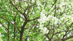 Branches of luxuriantly blooming apple tree Stock Footage