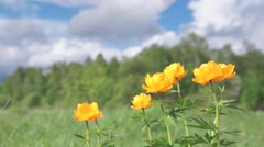 Bright orange flowers on a meadow Stock Footage