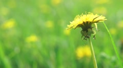 Yellow dandelion in a field under the wind Stock Footage