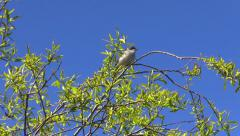 Stock Video Footage of Lesser whitethroat (Sylvia curruca)