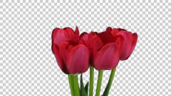 Growing, opening and rotating red tulips with ALPHA channel Stock Footage