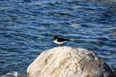 oystercatcher bird resting on boulder near fjord water in summer sunlight - stock photo