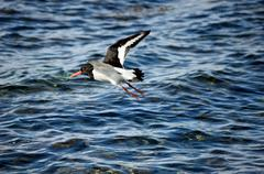 beautiful oystercatcher bird flying over clear blue fjord water in summer - stock photo