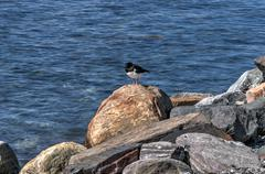 Oystercatcher bird by sea shore in summer Stock Photos