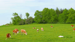 cows and calves grazing on a field - stock footage