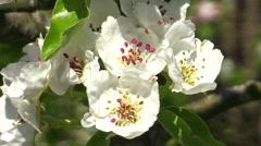 Pear blossom (Pyrus communis) Stock Footage