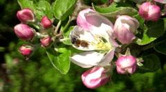 Mining bee (Andrena) Stock Footage