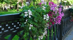 An old black iron fence with hanged flowerbeds (potted flowers Stock Footage