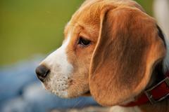 Close up half-face beagle portrait - stock photo