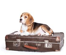 Little beagle puppy on the old suitcase - stock photo